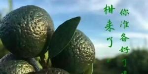 小青柑普洱茶加工制作过程-新会小青柑加工制作方法