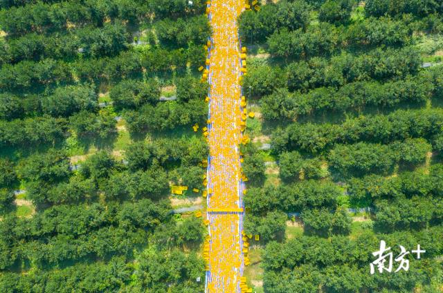 柑之林新会柑种植基地,新会大红柑采摘时丰收景象。